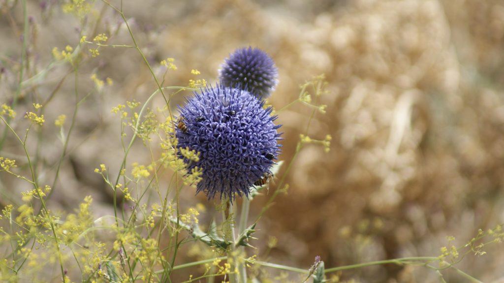 Fleur à Alborz